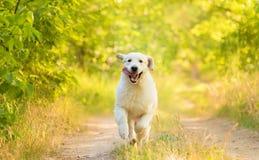 Foto do close up de um cão de Labrador da beleza Fotografia de Stock Royalty Free