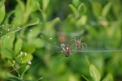 Foto do close up de uma aranha e de uma vítima Imagens de Stock Royalty Free