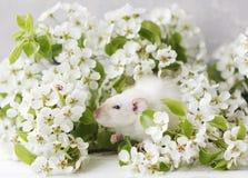 A foto do close-up do rato branco bonito pequeno em Cherry Tree de florescência bonito ramifica imagens de stock royalty free