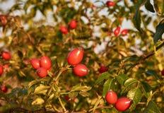 A foto do close-up do vermelho frutifica rosehip entre as folhas verdes, com foto de stock royalty free