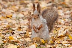 Foto do esquilo cinzento Imagem de Stock