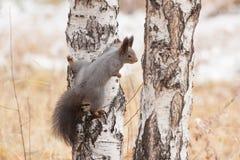 Foto do esquilo cinzento Fotos de Stock