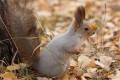 Foto do esquilo cinzento Fotografia de Stock Royalty Free