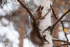 Foto do esquilo cinzento Foto de Stock Royalty Free