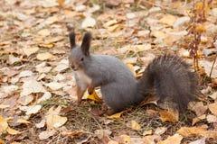 Foto do esquilo cinzento Imagens de Stock Royalty Free