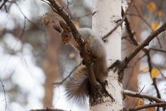 Foto do esquilo cinzento Fotografia de Stock