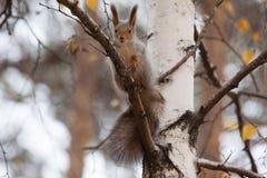 Foto do esquilo cinzento Imagem de Stock Royalty Free