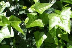 Foto do estoque de qualidade de Ivy Plant Close Up High imagens de stock