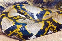 Foto do fim da pele de serpente acima no jardim zoológico Fotografia de Stock