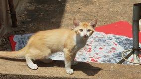 Foto do gato da vaquinha Imagens de Stock