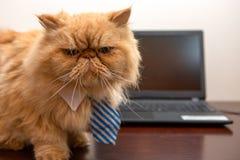 Foto do gato exótico com o laço listrado que olha in camera, sentando-se na tabela com portátil fotografia de stock royalty free