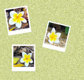 Foto do instante de 3 Frangipani Fotos de Stock
