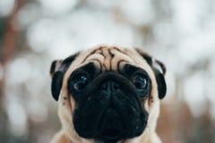 Foto do inverno de um doce pequeno do pug Imagens de Stock Royalty Free