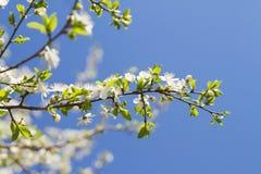 Foto do macro da flor de cereja Imagens de Stock