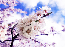 Foto do macro da flor do abricó imagem de stock royalty free