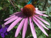 Foto do macro da flor do Echinacea fotos de stock