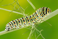 Foto do macro de Swallowtail (Papilio Machaon) Caterpillar Foto de Stock Royalty Free