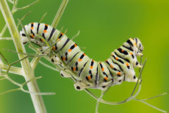 Foto do macro de Swallowtail (Papilio Machaon) Caterpillar Imagem de Stock