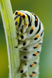 Foto do macro de Swallowtail (Papilio Machaon) Caterpillar Foto de Stock