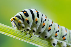 Foto do macro de Swallowtail (Papilio Machaon) Caterpillar Imagem de Stock Royalty Free