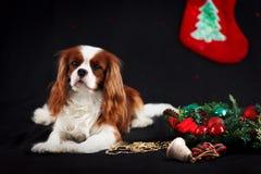 Foto do Natal do spaniel de rei Charles descuidado no fundo preto imagens de stock royalty free