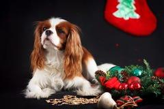 Foto do Natal do spaniel de rei Charles descuidado no fundo preto foto de stock royalty free
