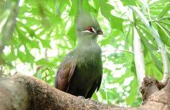 Foto do pássaro do close up de um persa verde de Tauraco foto de stock