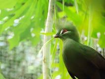 Foto do pássaro do close up de um persa verde de Tauraco Sitt do Turaco da Guiné imagens de stock