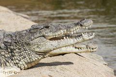 Foto do retrato do crocodilo do Nilo imagens de stock royalty free