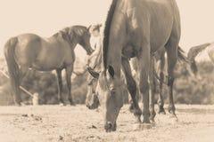Foto do Sepia do cavalo que pasta a grama imagens de stock royalty free