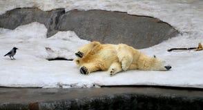 Foto do urso engraçado do sono Imagens de Stock