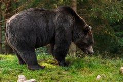 Foto do urso pardo marrom na floresta foto de stock