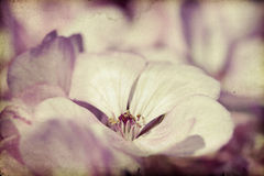 Foto do vintage de flores cor-de-rosa (gerânio) com dof raso Fotos de Stock Royalty Free
