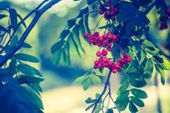 A foto do vintage de Rowan vermelho frutifica no ramo Imagem de Stock Royalty Free