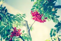A foto do vintage de Rowan vermelho frutifica no ramo Imagens de Stock Royalty Free