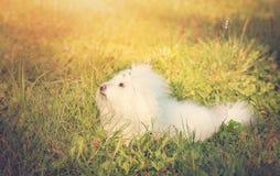 Foto do vintage de um Bichon bolonhês no parque Foto de Stock Royalty Free