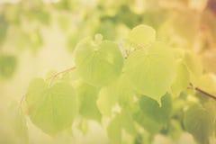 Foto do vintage do ramo de árvore do Linden Imagens de Stock Royalty Free