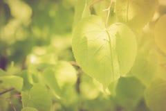 Foto do vintage do ramo de árvore do Linden Foto de Stock Royalty Free