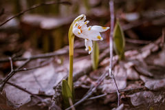 Foto do vintage A mola branca floresce, snowdrops, floco de neve, plantas da prímula Imagens de Stock