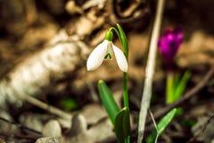 Foto do vintage A mola branca floresce, snowdrops, floco de neve, plantas da prímula Imagens de Stock Royalty Free