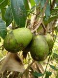 Foto dolce dello Sri Lanka di ambarella della frutta fotografie stock