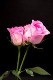 Foto doppia dello studio della rosa di rosa con fondo nero Fotografia Stock