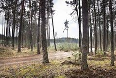 Foto dramática com um detalhe de uma floresta do pinho na primavera quando céus nebulosos na terra de Macha na república checa Fotografia de Stock Royalty Free