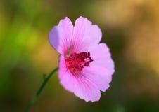 Foto eenzame roze bloem Royalty-vrije Stock Afbeelding