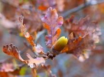 Foto Eiken tak met eikels in de herfst Royalty-vrije Stock Afbeeldingen