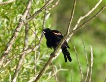 Foto einer Amsel, die auf einem Brunch eines Baums sitzt Lizenzfreie Stockfotos