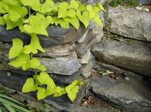 Foto einer Rebe auf Steinwand Lizenzfreie Stockbilder