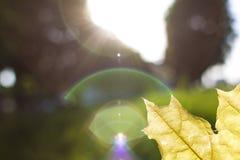 Foto eines Ahornbaumblattes Stockbilder