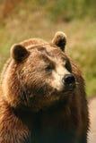Foto eines europäischen Brown-Bären stockbilder