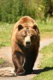 Foto eines europäischen Brown-Bären lizenzfreies stockbild
